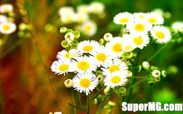Фото: Аптечна ромашка при вагітності: квітки здоров'я