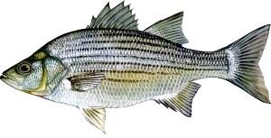 Фото: До чого сниться риба- Тлумачення сну в сонниках.