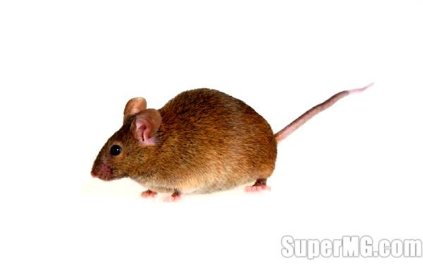 Фото: Як вивести мишей народними засобами: прощання з гризунами