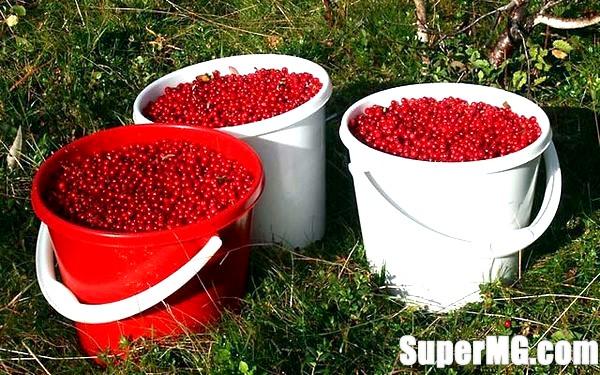 Фото: Користь і шкода брусниці: цілюща лісова ягода