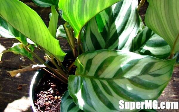 Фото: Догляд за Калатея в домашніх умовах: барвистість листя