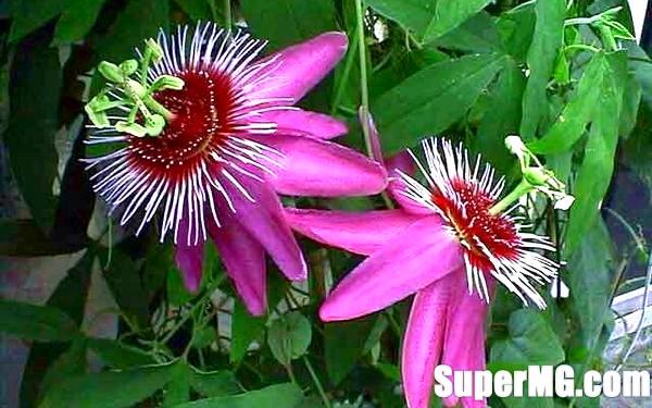 Фото: Догляд за пасифлори в домашніх умовах: квітка-страстоцвет